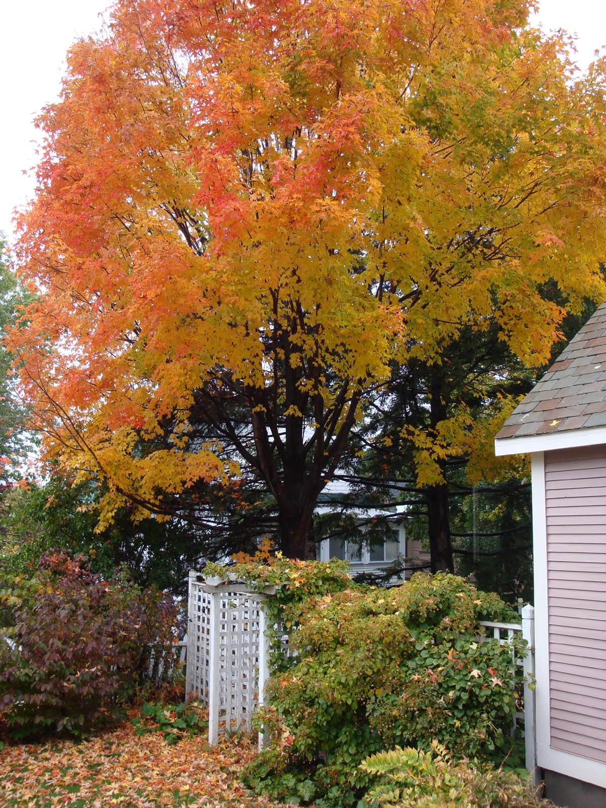 Maple tree over the patio in October
