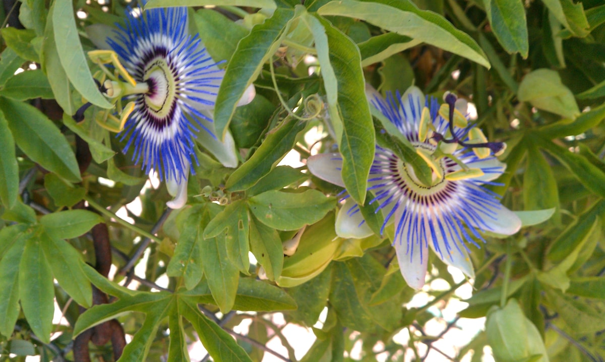 passion fruit flowers all in bloom, spring, summer, fall