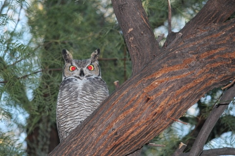 Great horned owl in our back yard