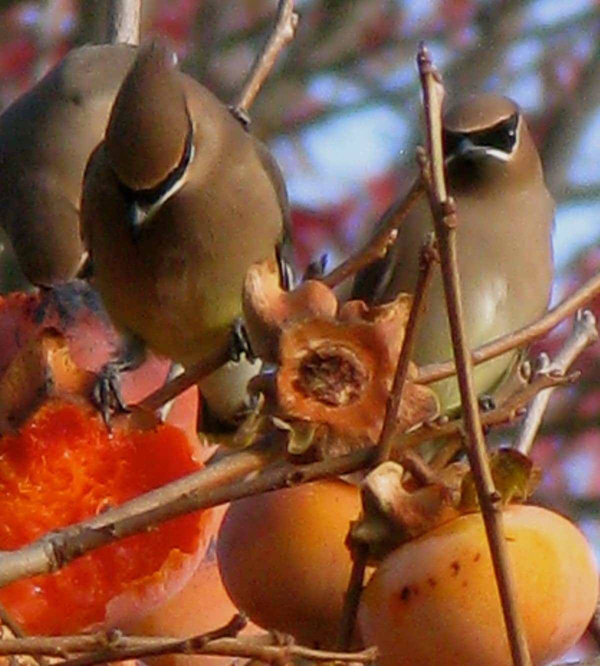 These handsome Cedar Waxwings visited our persimmon tree last year.  Outside the guest area.
