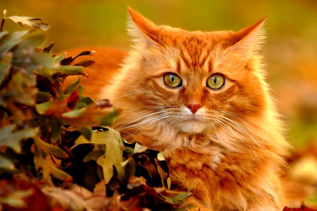 FAKE RED CAT listing test. Cats - Jordan Valley - Yatakhane