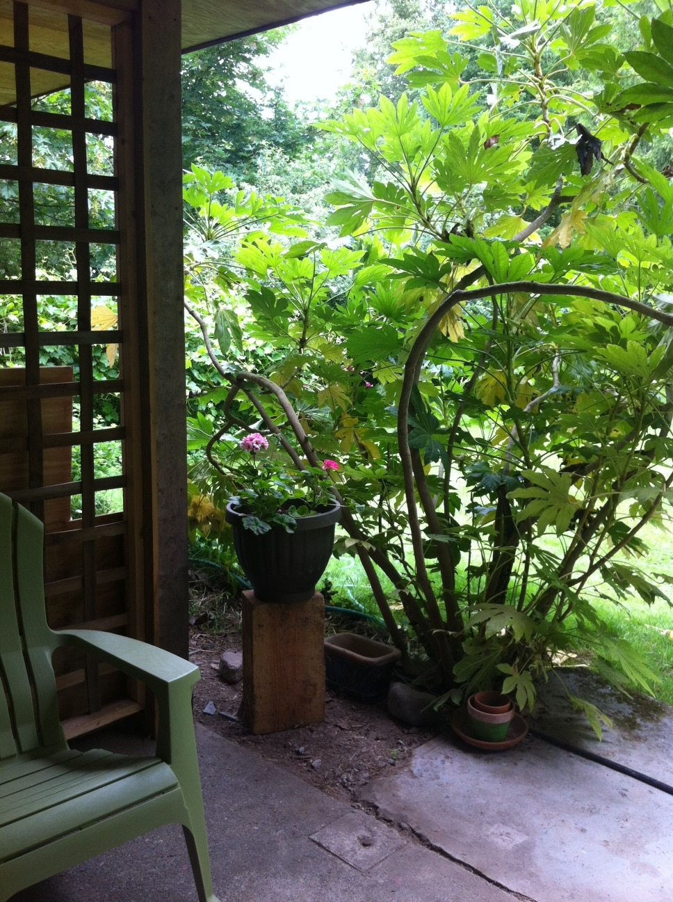 Japonica and geraniums.