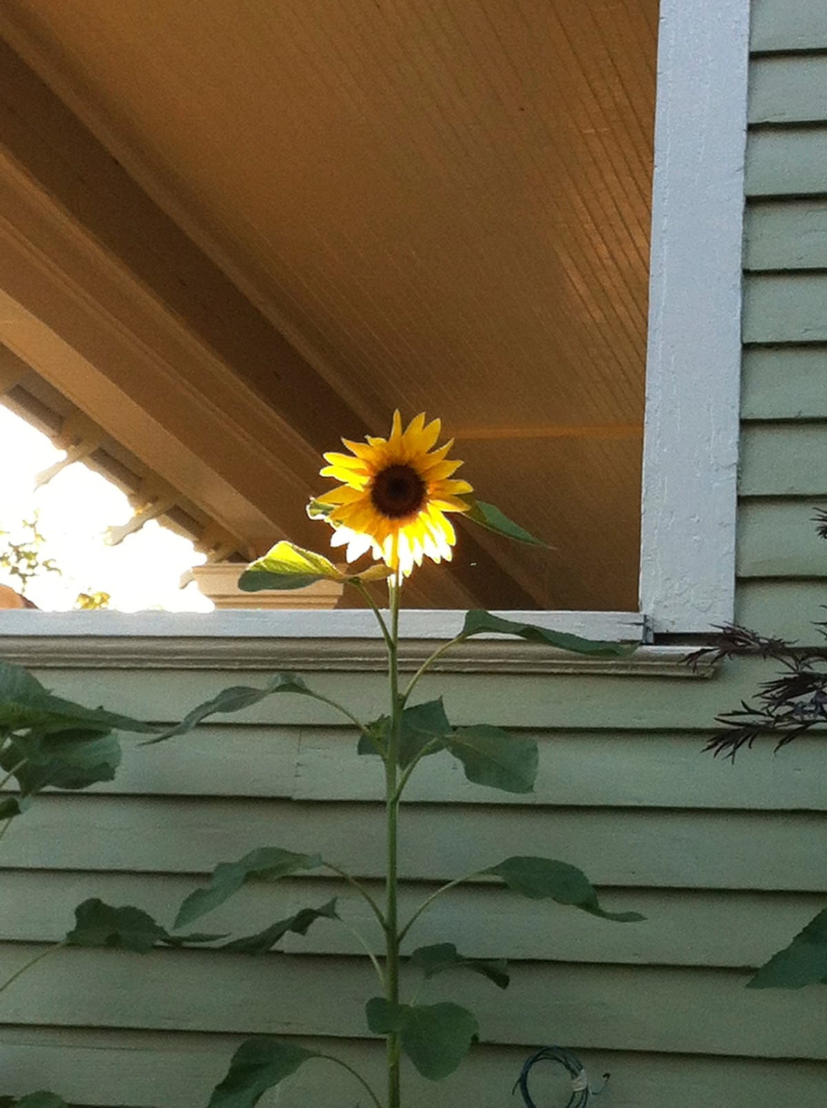 Fun sunflower