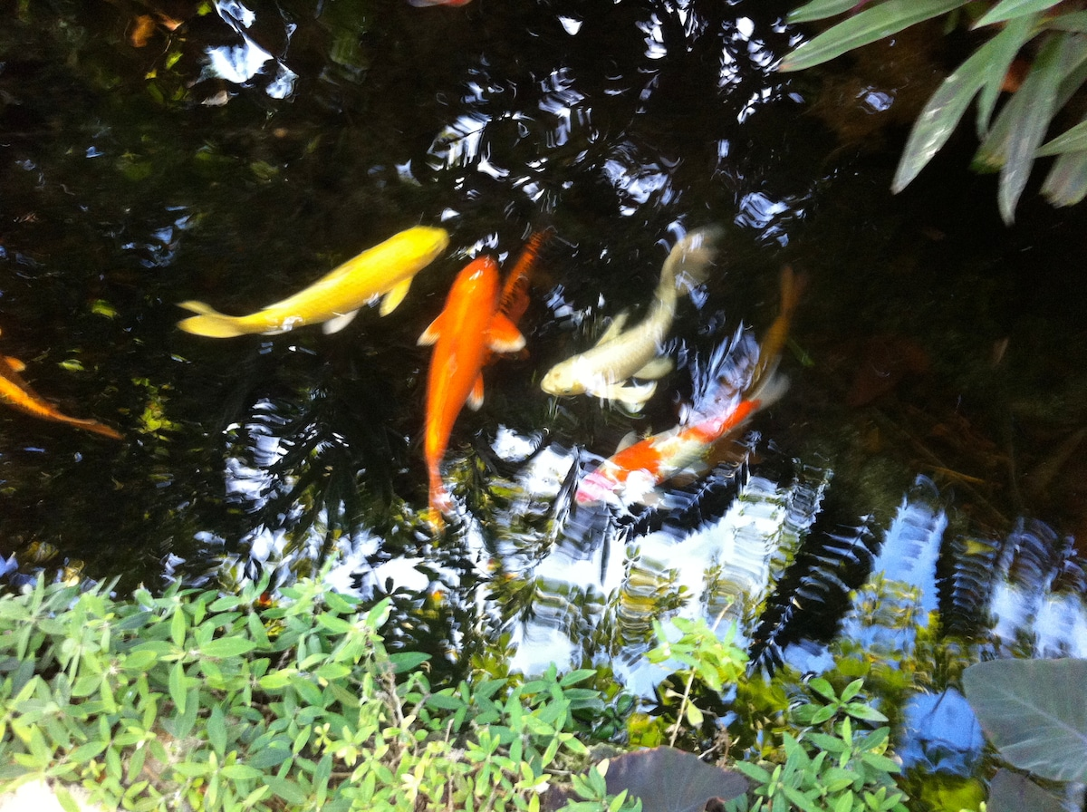 Koi pond greets you as you cross the Japanese bridge.