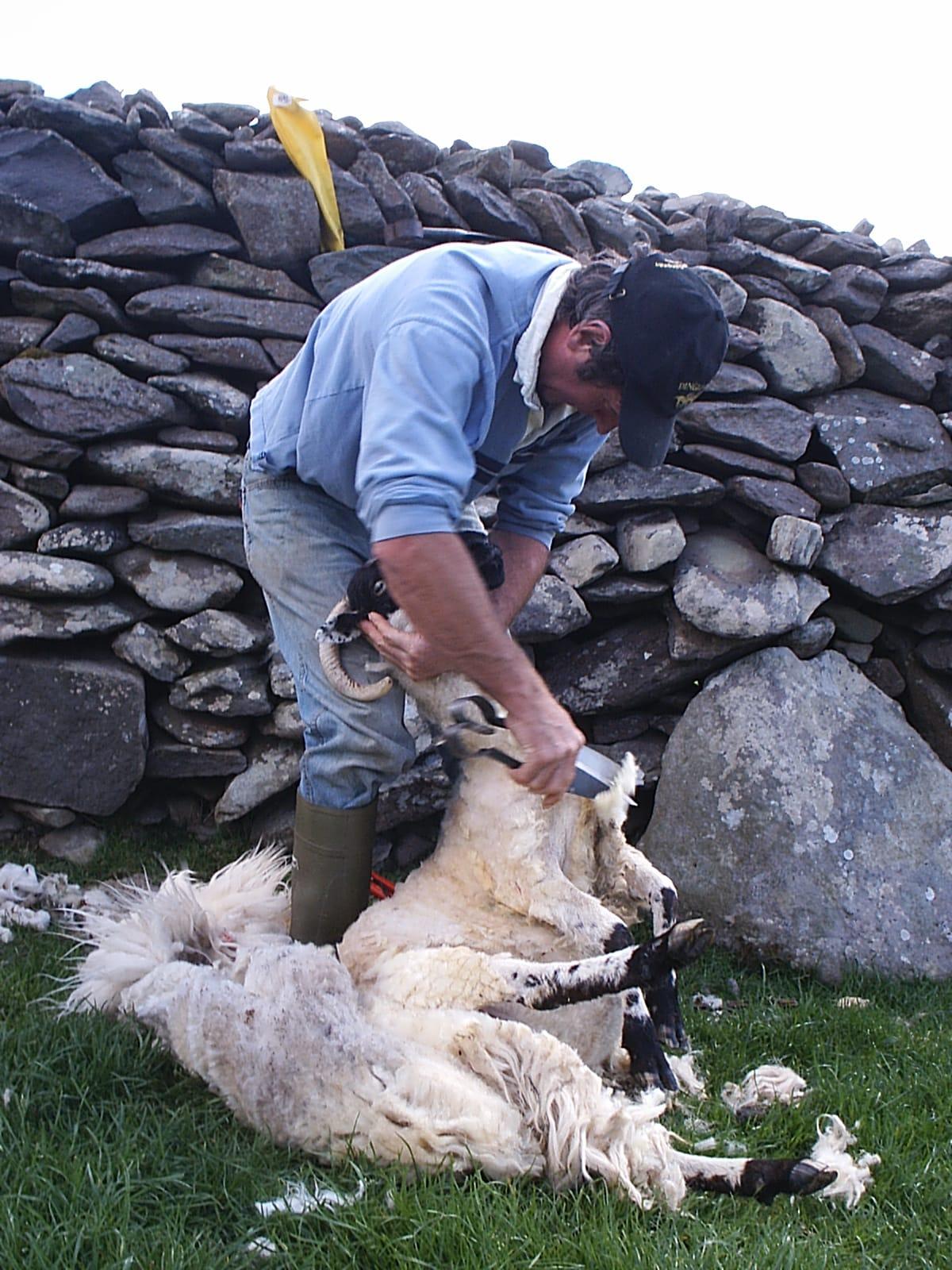Sheep shearing old style