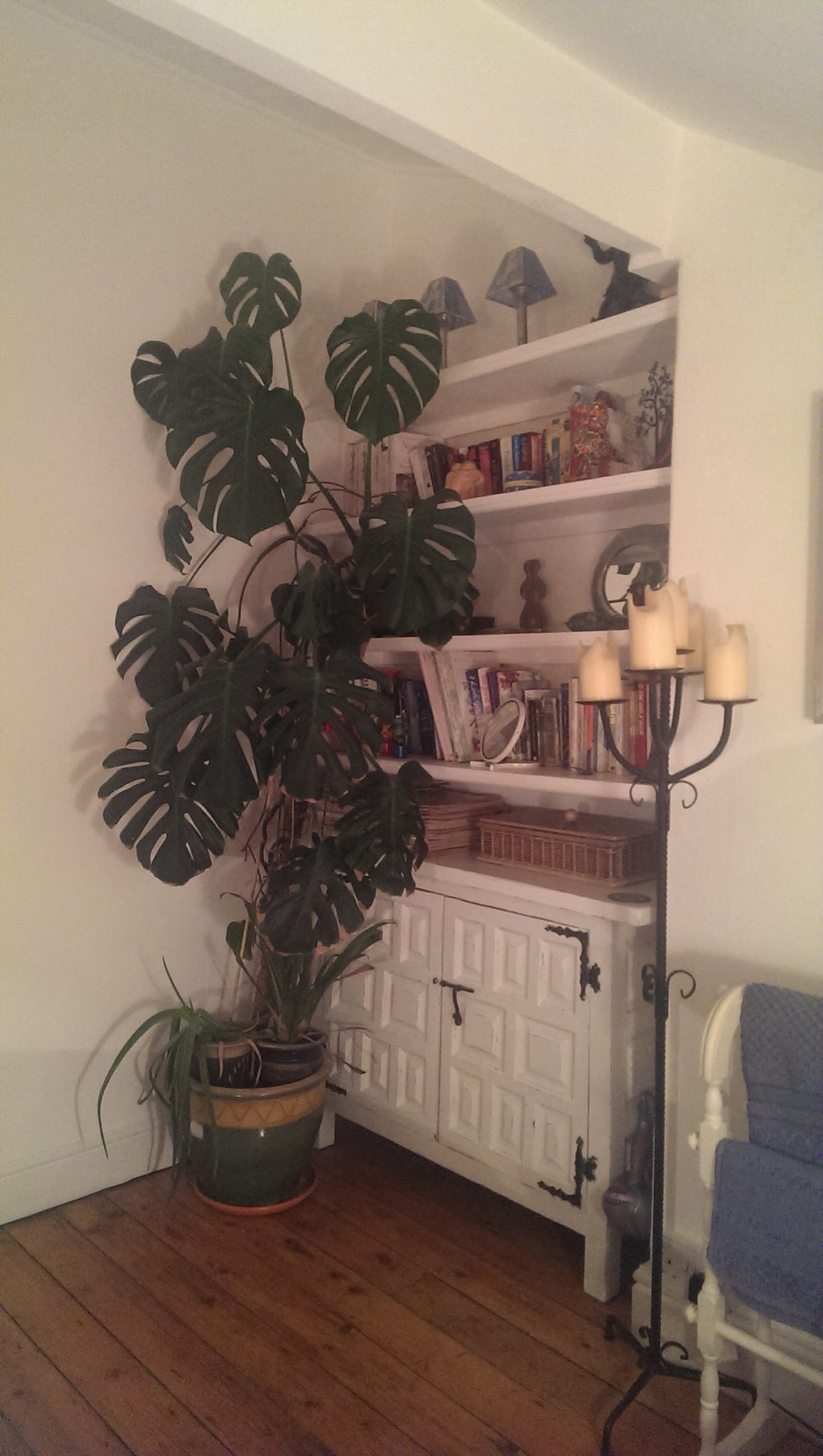 The 33 year old cheese plant that towers above most brings an air of life to the room.