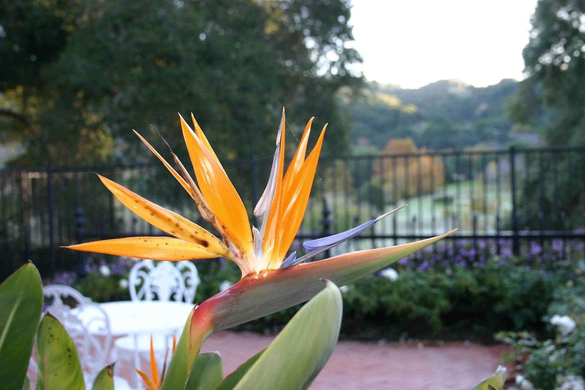 Bird of paradise, front yard.
