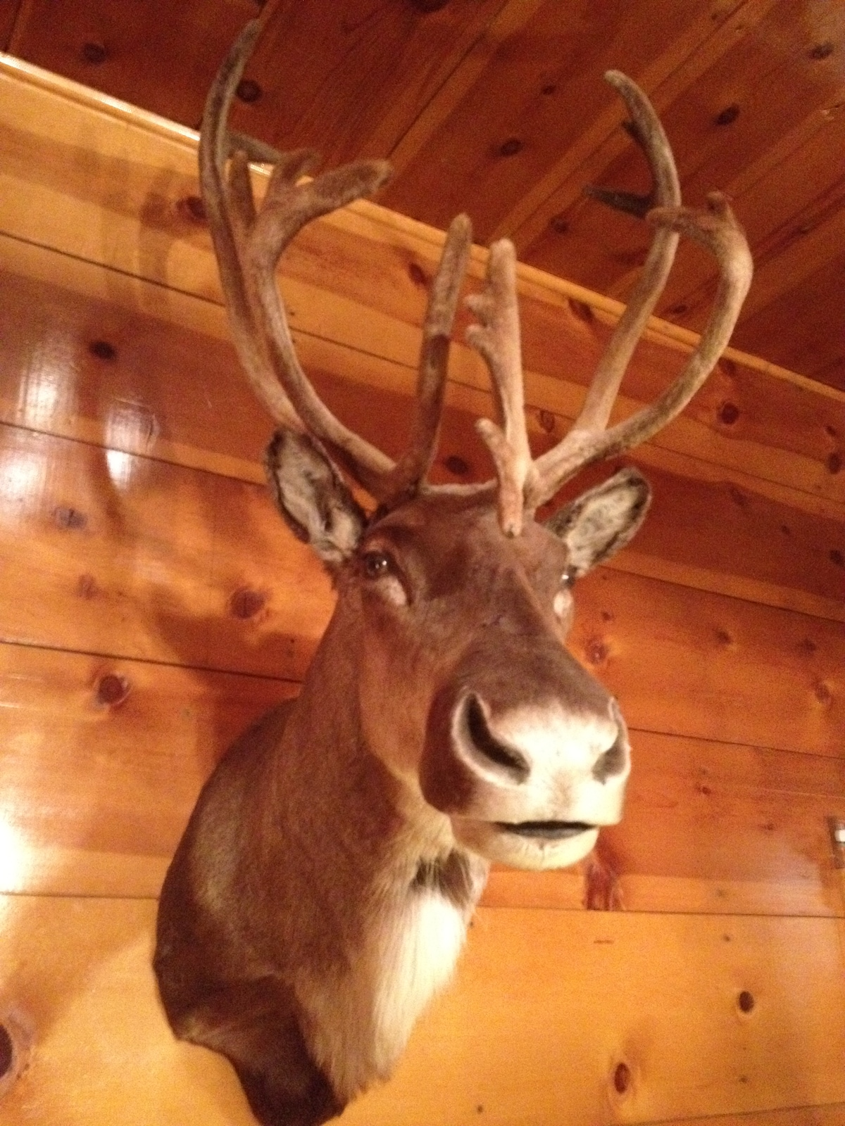 The reindeer of Reindeer Cottage. Yes, he's real (please don't touch; he can't grow back the hairs that fall out). He hangs above the fireplace in the cabin.