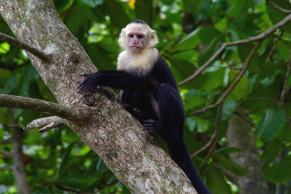 white faced monkey (1 of the 3 types of monkeys to visit the villas)