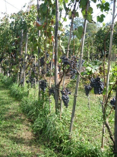 the wineyard just near the house