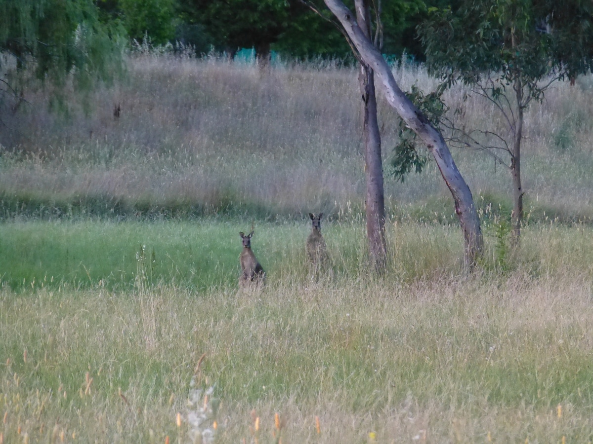 These handsome kangaroos come down in the evening to feed in the parklands 2 minutes walk from my house
