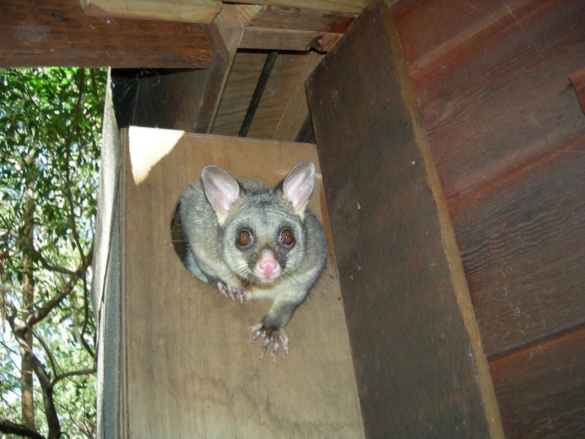 Resident Possum that lives in box next to door of Yurt
