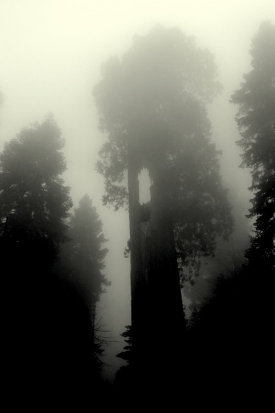 ~ The Giant Sequoias' Forest ~
