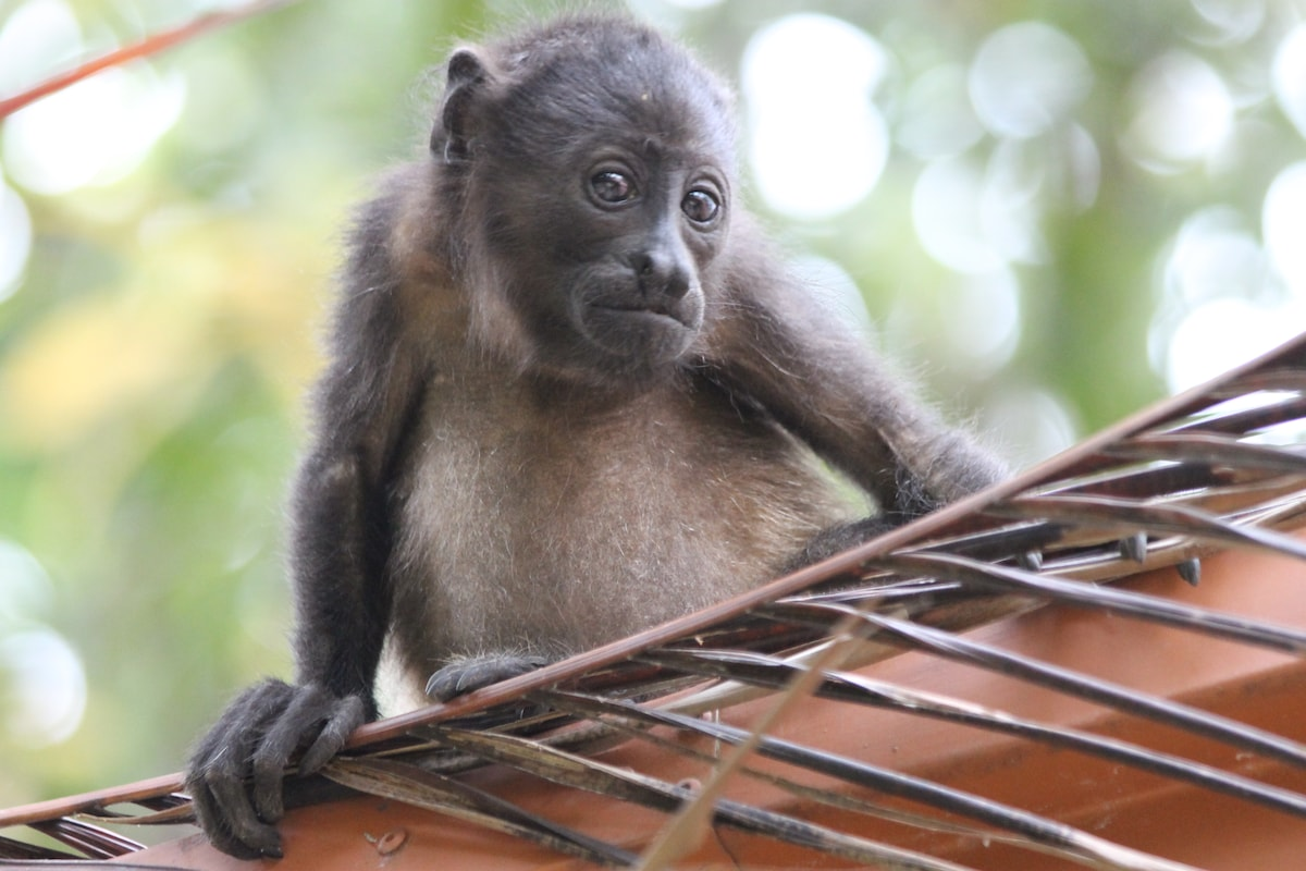 Baby Howler Monkey on the roof. With mango trees on the property it's easy to find monkeys enjoying the property with you.