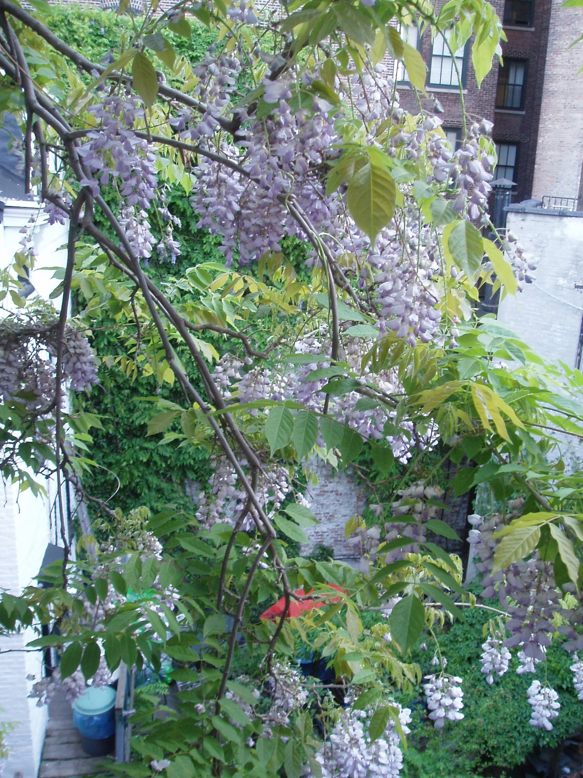 More Wisteria out on the fire escape