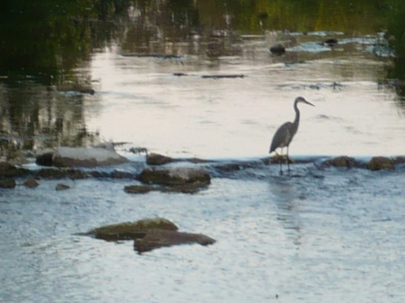 Blue Heron fishing on the Sauble River in Tara next to our B&B