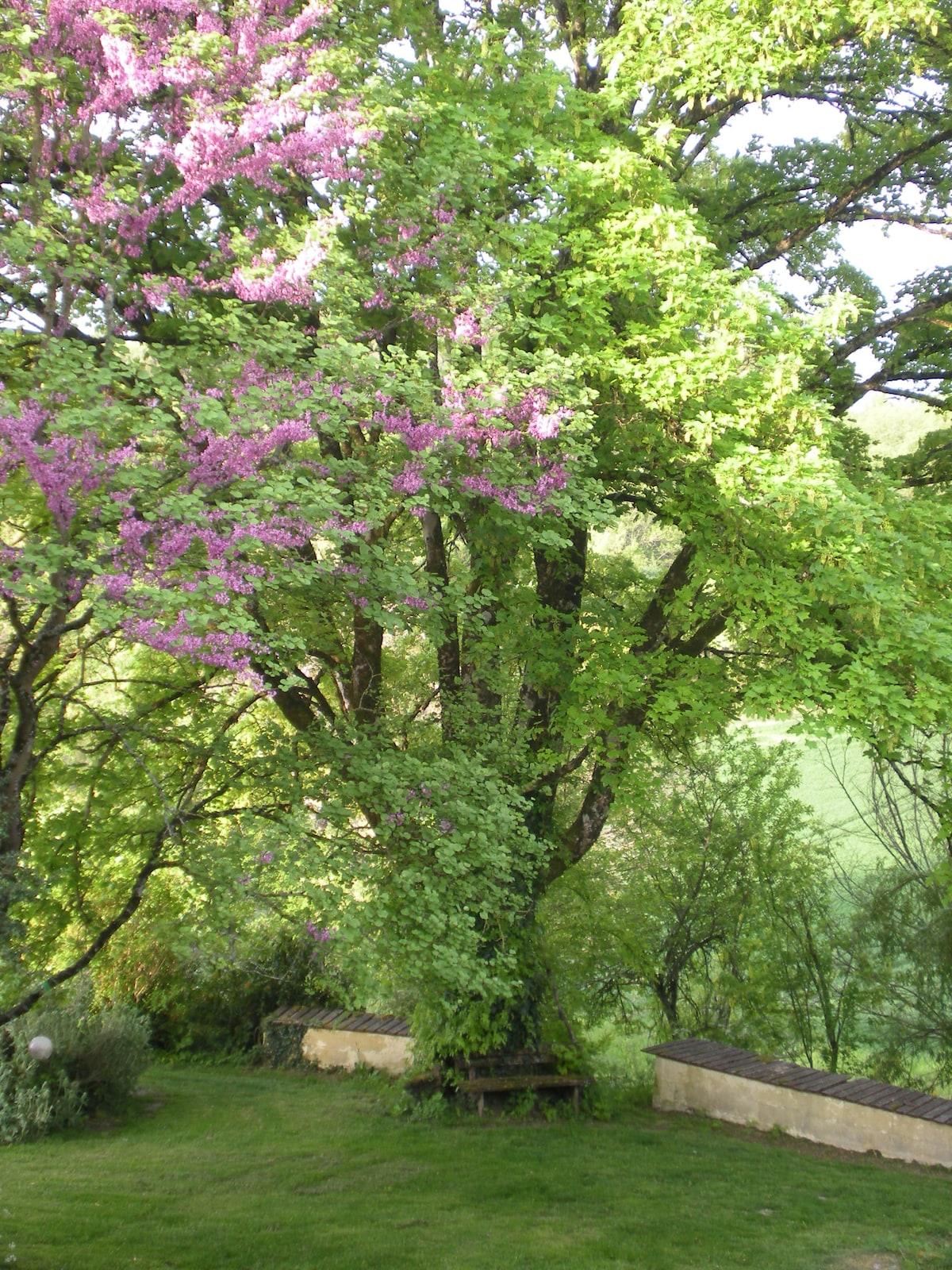 sycamore and judas tree