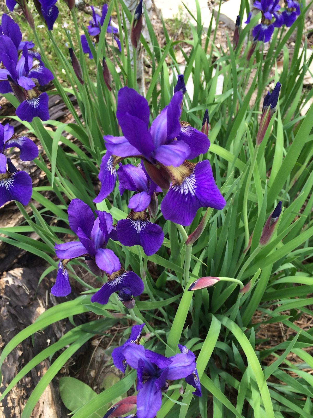 Iris  at the Hyacinth House