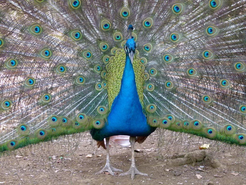 Romeo the peacock