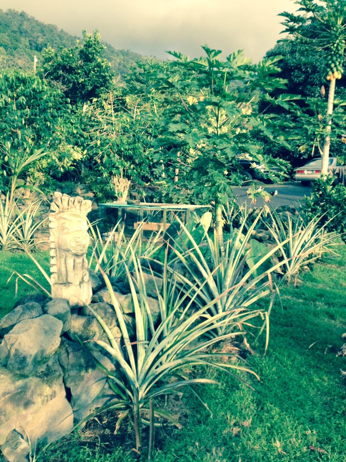 Farm garden area - pineapples & coffee trees