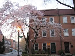Cherry Blossoms in SW Waterfront DC