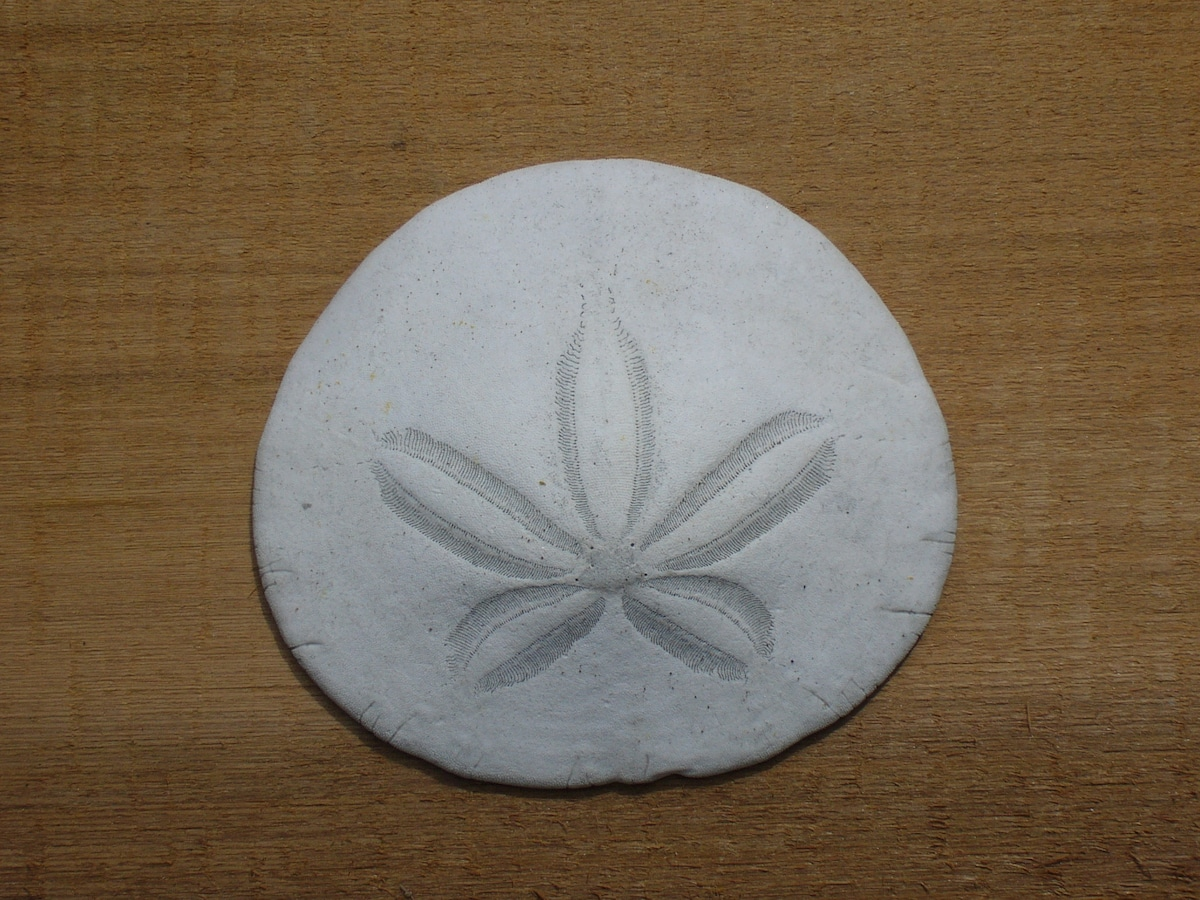 Sand Dollar From Tofino, Canada