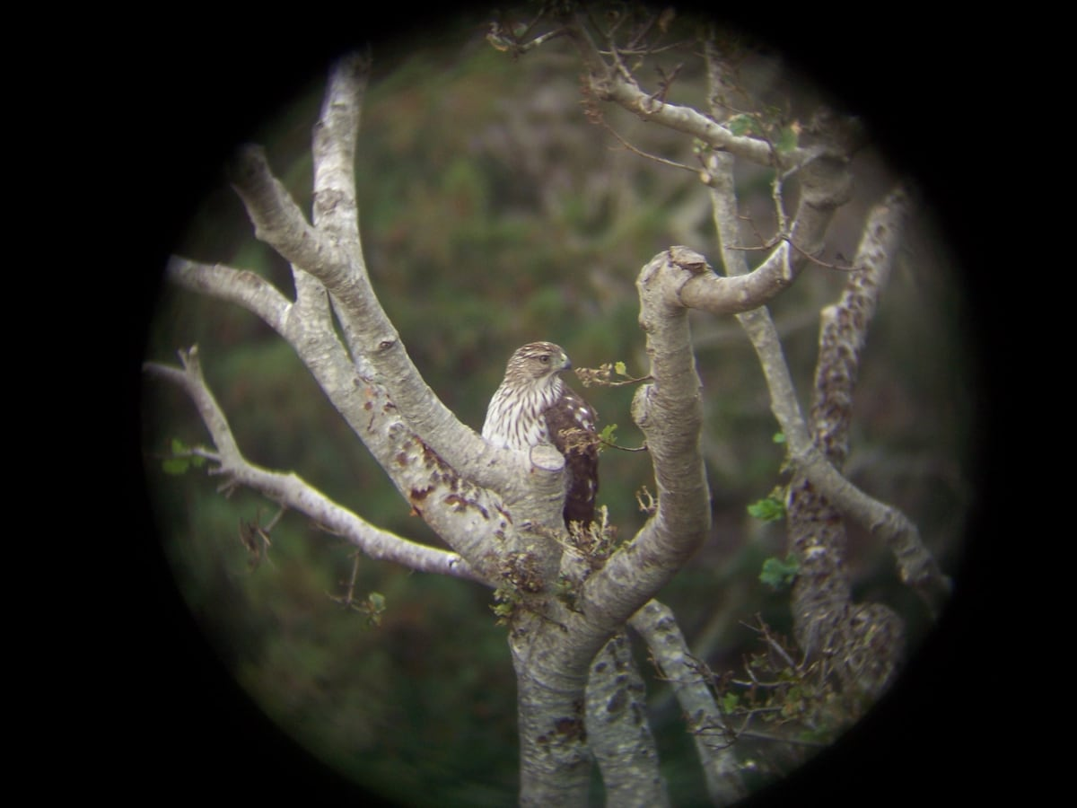 Red-Tailed Hawk hatched from an annual nest in our canyon.