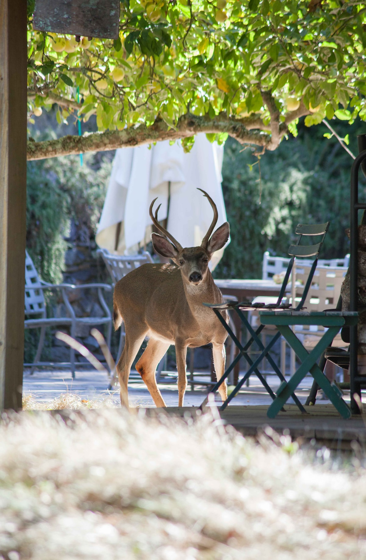 The occasional wildlife sighting is part of the Eco Refuge experience. Sometimes, as in the Fall, a buck or two turns up in the apple orchard outside the kitchen for a snack. Photo by Richard Olsen.