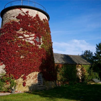 The 1836 Tower Windmill adorned in the Autumn colours of a Virginia Creeper