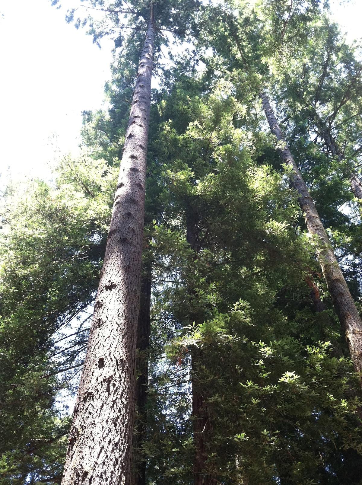 120' of Redwood (that's my tree!)