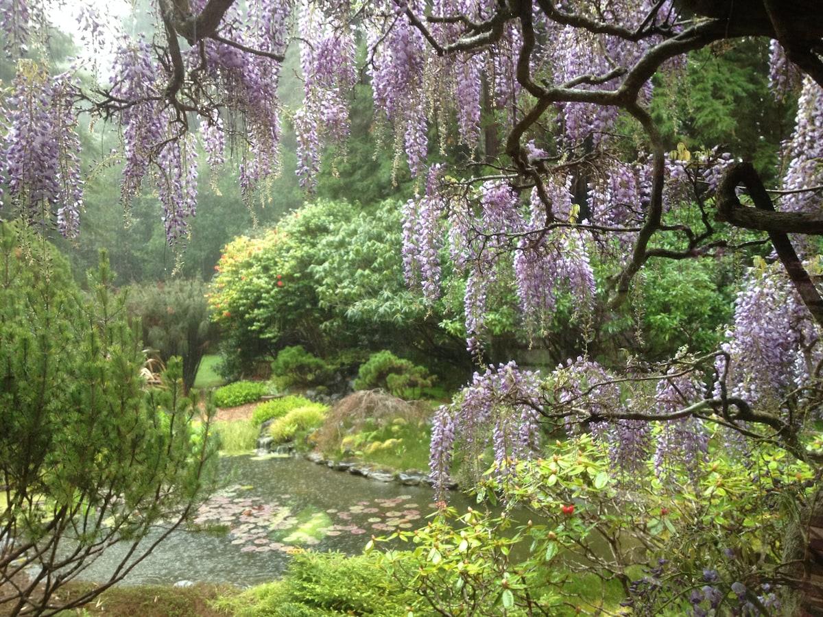 Springtime wisteria on a rainy day by the pond