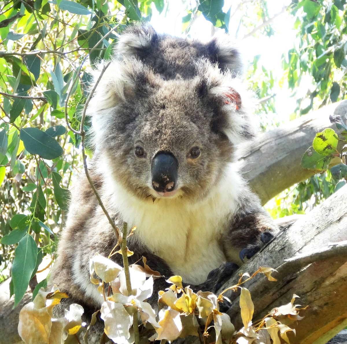 Camping with Koalas - French Island