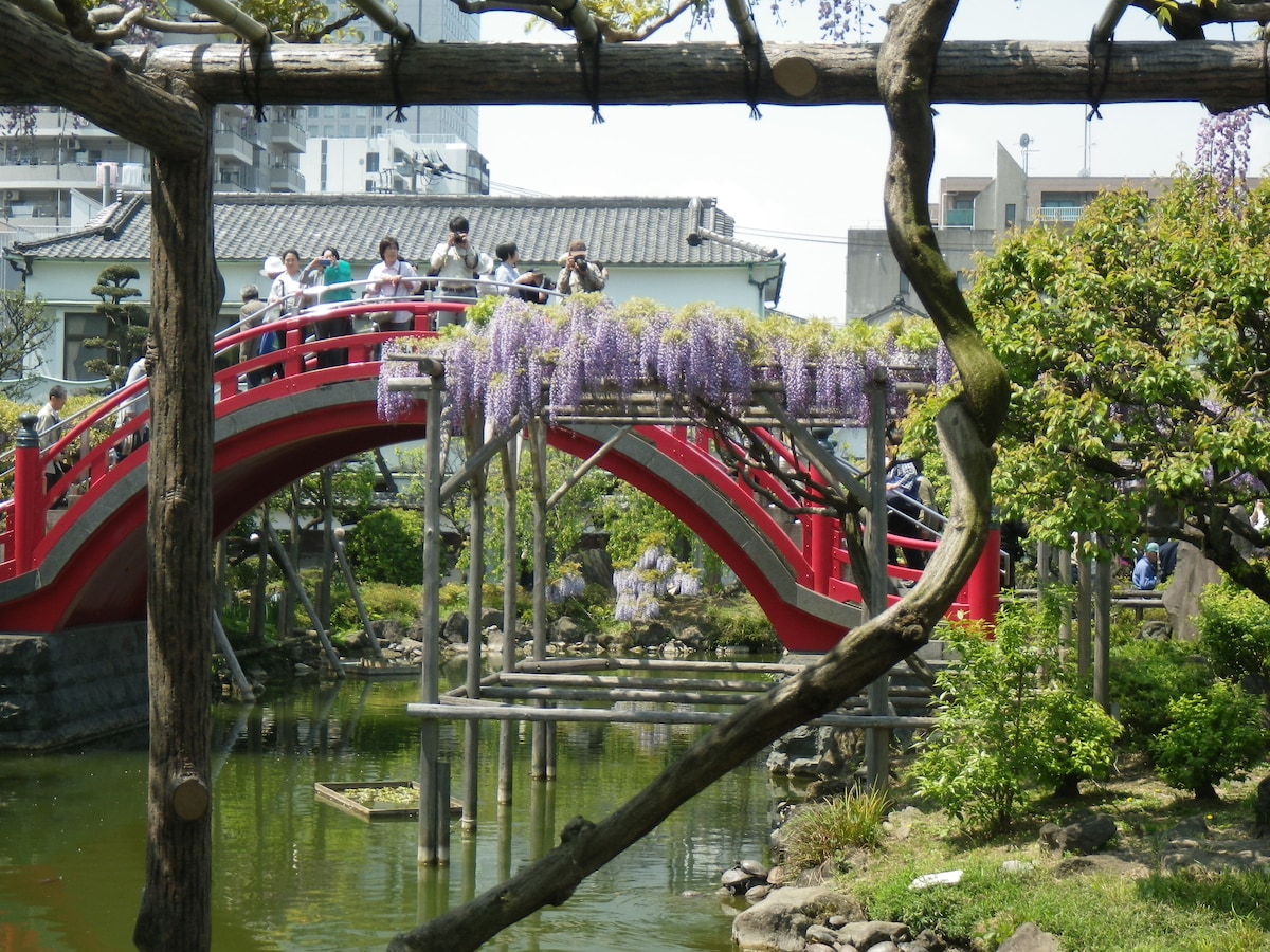 This week in April:  The Kameido Tenjin Wisteria festival!