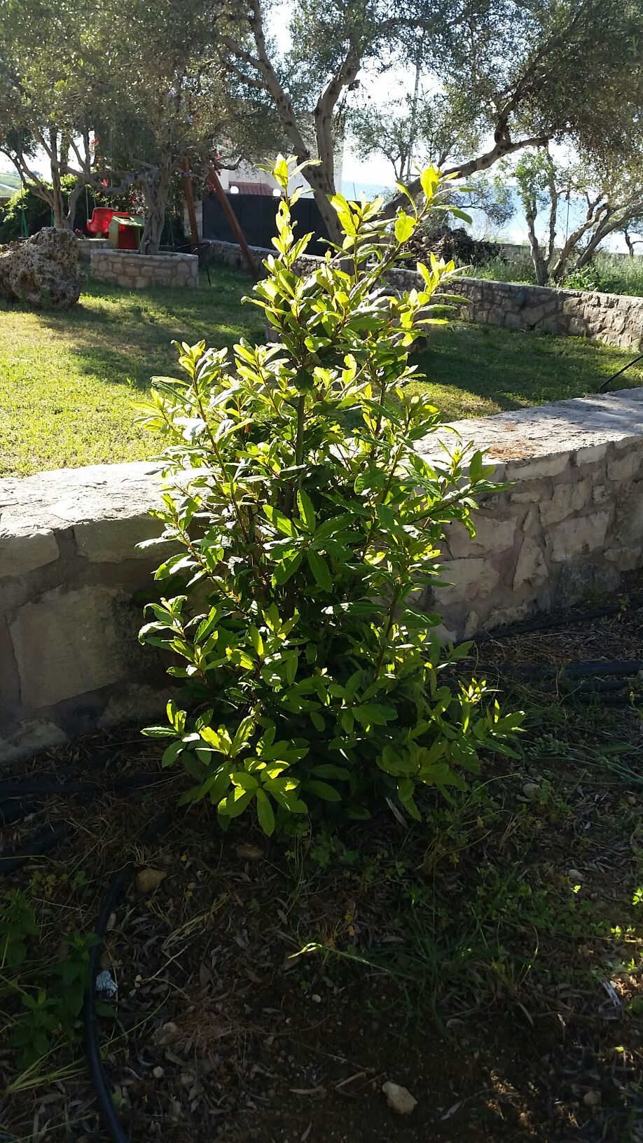 Olive tree farm- special offer!