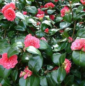 In early Spring this Camelia shows off next to the front Porch. OK to bring Flowers inside.