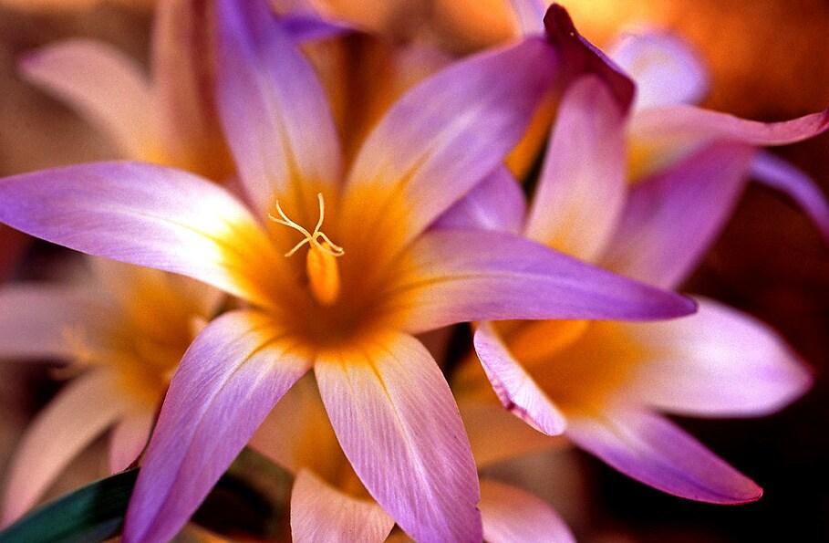 Flowers on mountains Biokovo.