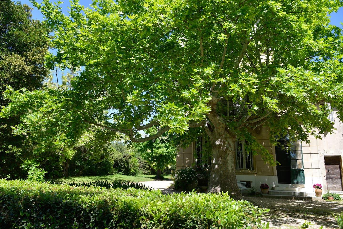 Les platanes devant la maison