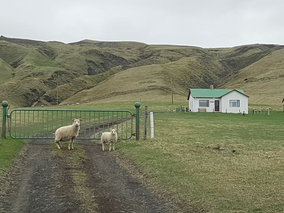 A warm welcome from cheerful Icelandic sheep!