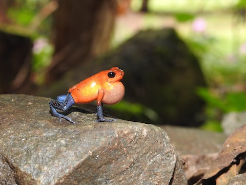 Red Frog Sanctuary with Blue