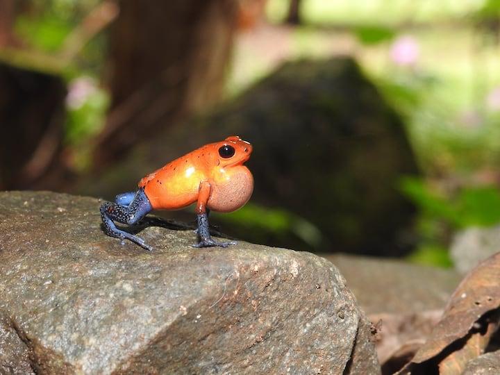 Santuario de  ranas rojas con azul