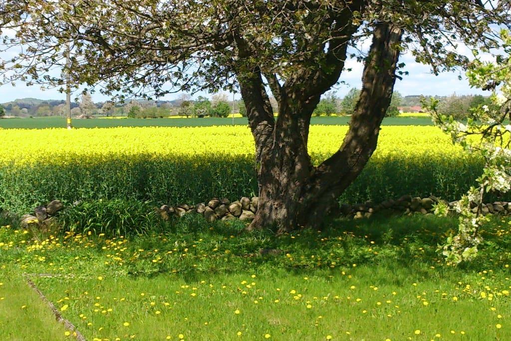 Utsikt från hus och trädgård när rapsfälten blommar