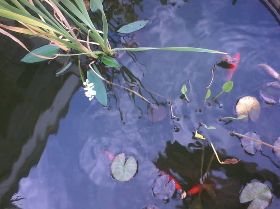 Fish pond with goldfish