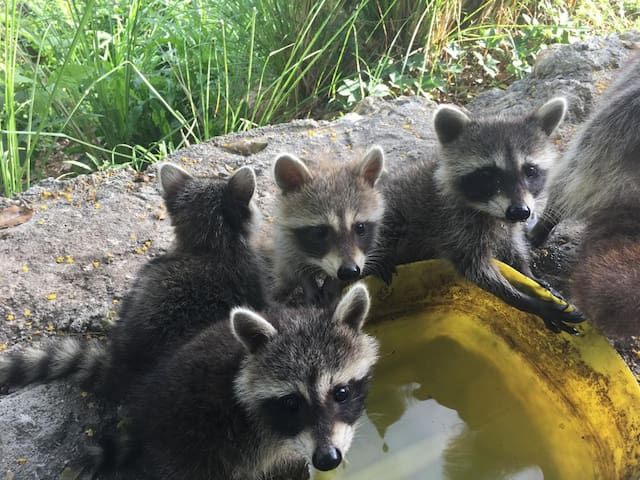 Raccoon Lodge Gosier