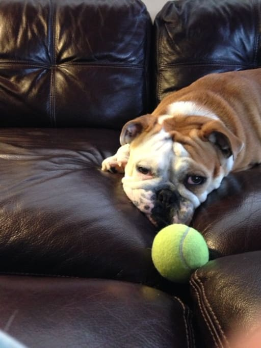 This is our beloved english bulldog Pearl ( who is NOT allowed in our florida house !)