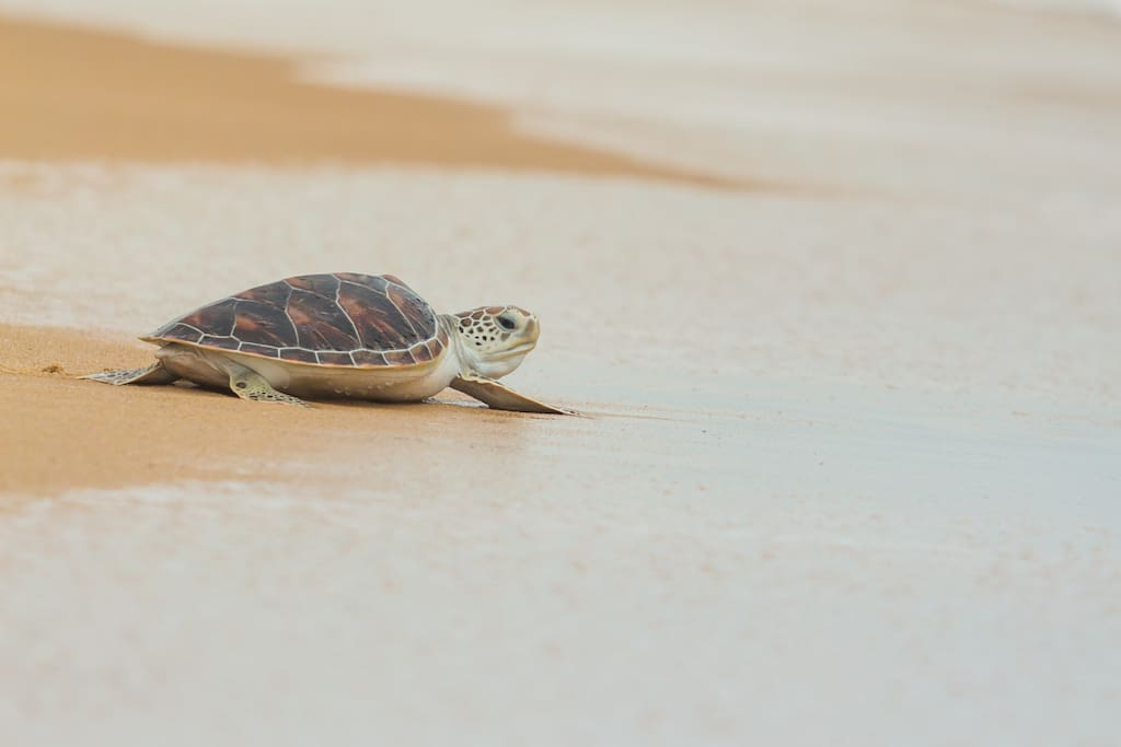 Nesting sea turtle hatchling makes way for the wild blue yonder.