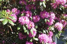 HUGE bright pink Rhododendron