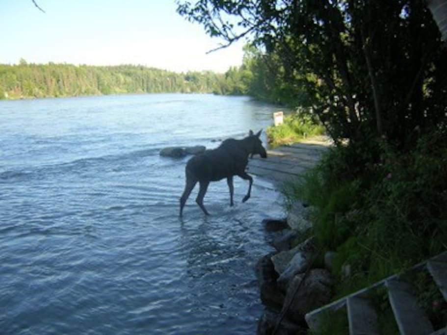 Moose on our Boat Launch