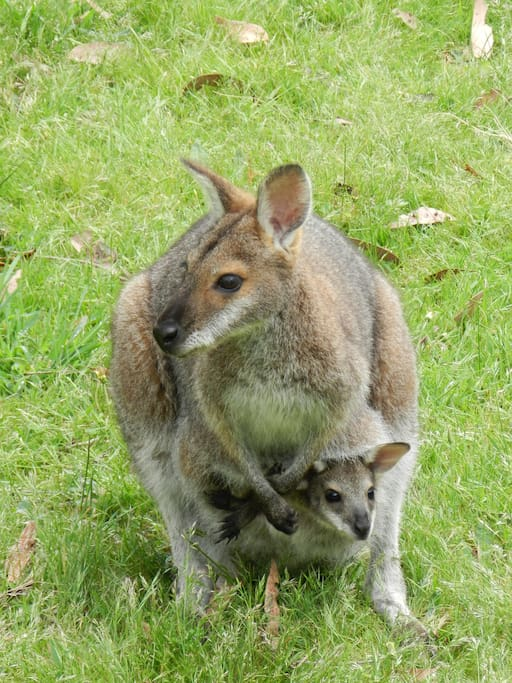 Wallabies and kangaroos are frequent visitors.