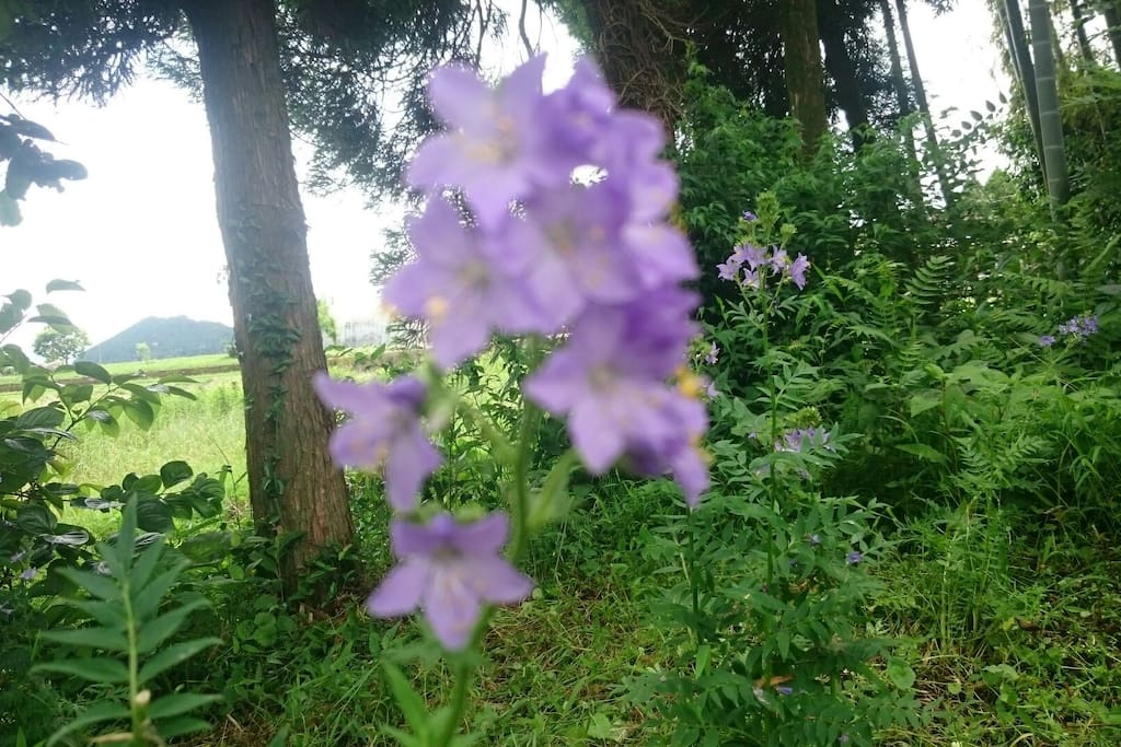 【Room  Hanashinobu】 Hanashinobu is a flower's name. The people says this flower bloom only Aso in the world. You can see to the end of summer from early summer in my garden. (Endangered spacies)