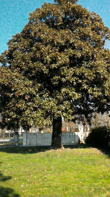 Magnolia in giardino